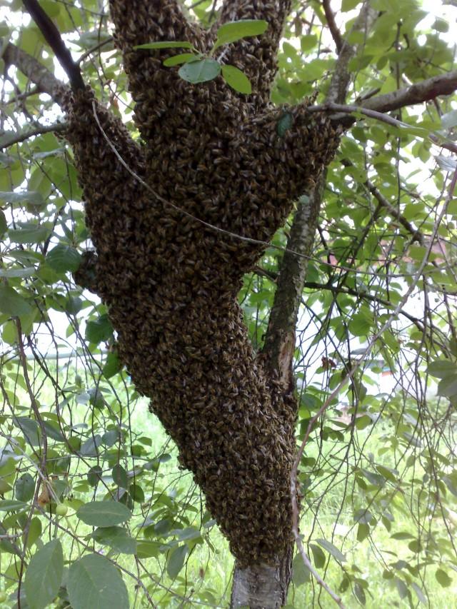 Фото роев пчел, собранные в Бресте за несколько лет