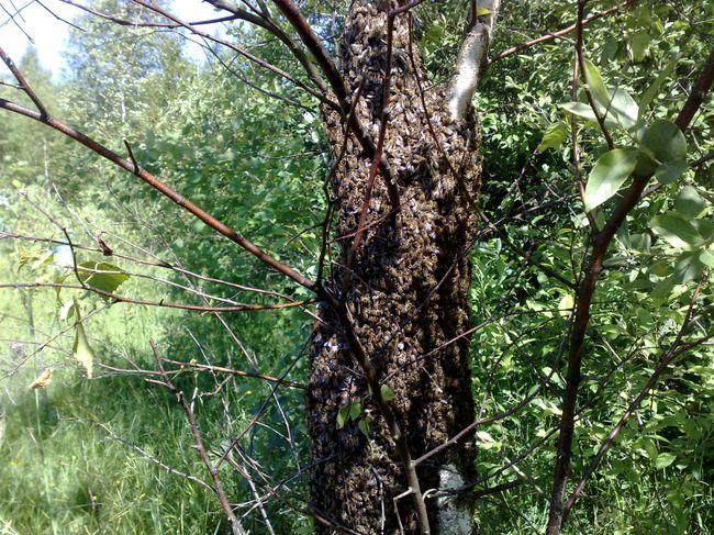 Пчелиный рой в окрестностях Бреста