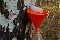 Первыми в конце марта начнут заготовку сока организации Брестской области
