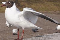 Чайки, просто чайки на набережной Бреста