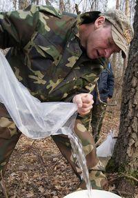 Брестчане заготавливают сок (фото из леса)