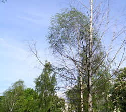 Сквер Иконникова - как поживают пересаженные деревья?