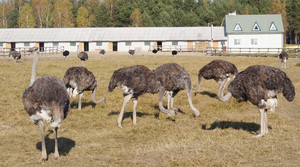 Виртуальная экскурсия на страусиную ферму