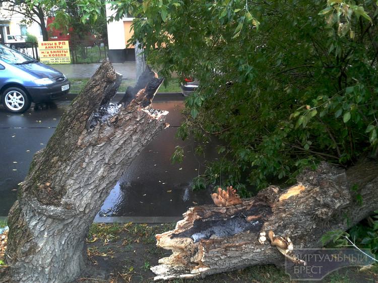 В Бресте дерево рухнуло на припаркованные автомобили