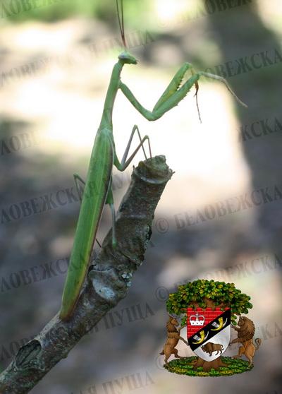 На южной окраине Беловежской пущи (близ д. Каменюки) нашли экзотическое насекомое - богомола