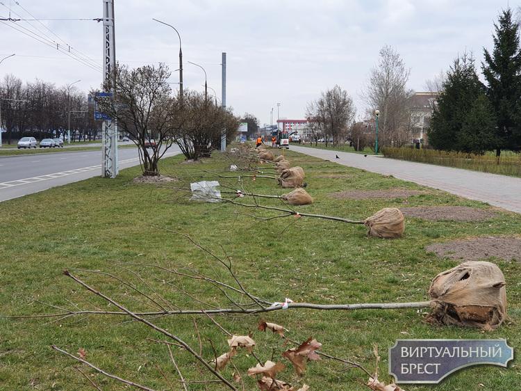 В Бресте вдвое увеличили посадки деревьев