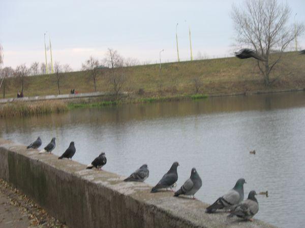 На пристани на Набережной. Лебеди, голуби и другие (фото)