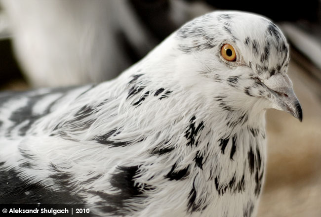 Фото-позитив с выставки голубей в Бресте