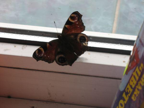 Живая бабочка поселилась в витрине магазина (фото)